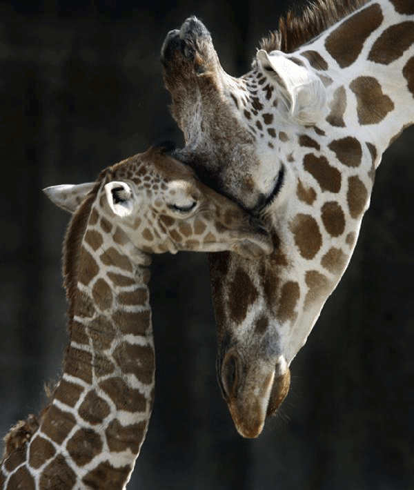 amazing-photography-giraffe