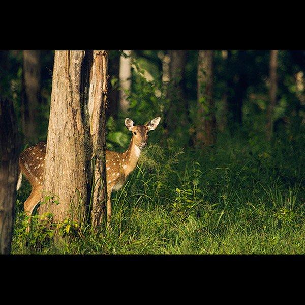 07-a-bold-and-a-beautiful-deer...-Explored-por-Vinoth-Chandar