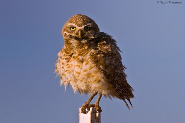 Burrowing-Owl-960x638