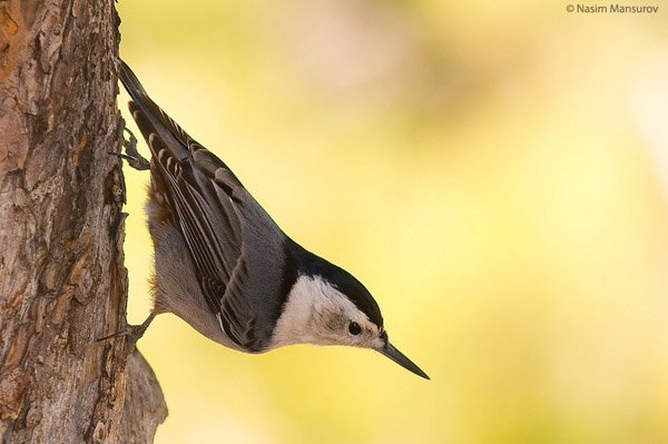 White-breasted-Nuthatch-960x638